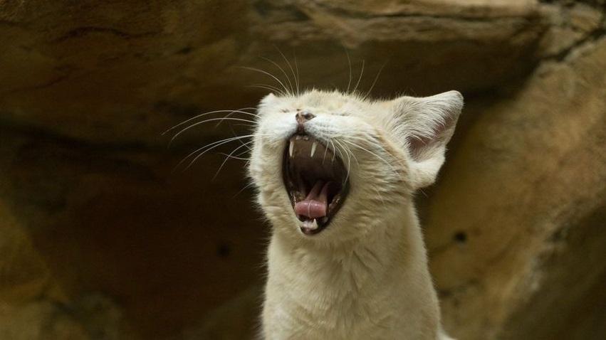 Ziewający kot